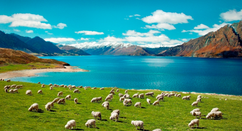 2_sheep_new_zealand